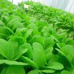 水耕栽培におけるpH調整の重要性