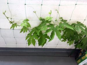 ゴーヤの脇芽の成長を促進する。